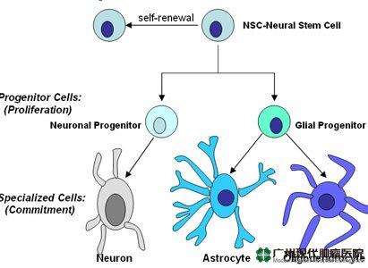 星形胶质细胞控制神经干细胞产生的新神经元